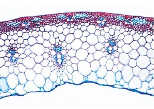 Preparat Batang Angiospermae