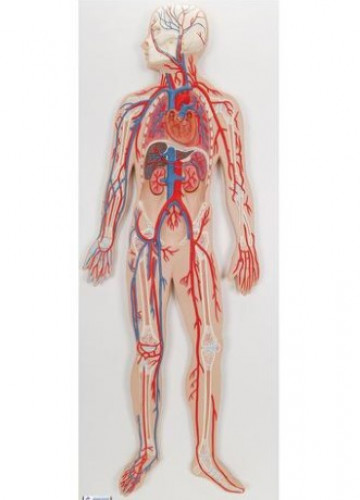Model Peredaran Darah Manusia, Sistem Sirkulasi